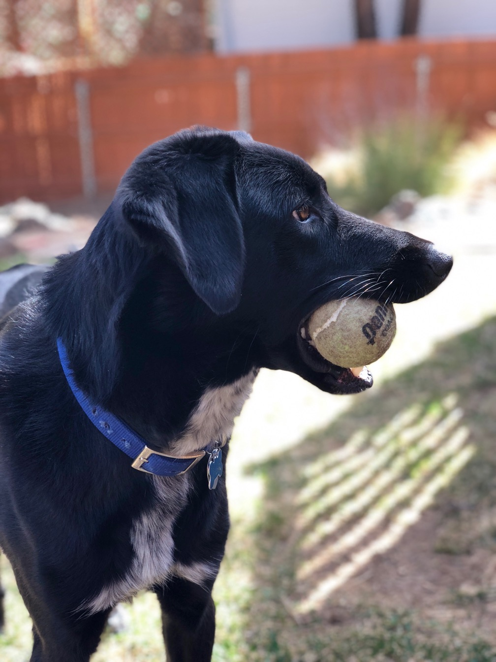 Black and white puppy with tennis ball, in profile.