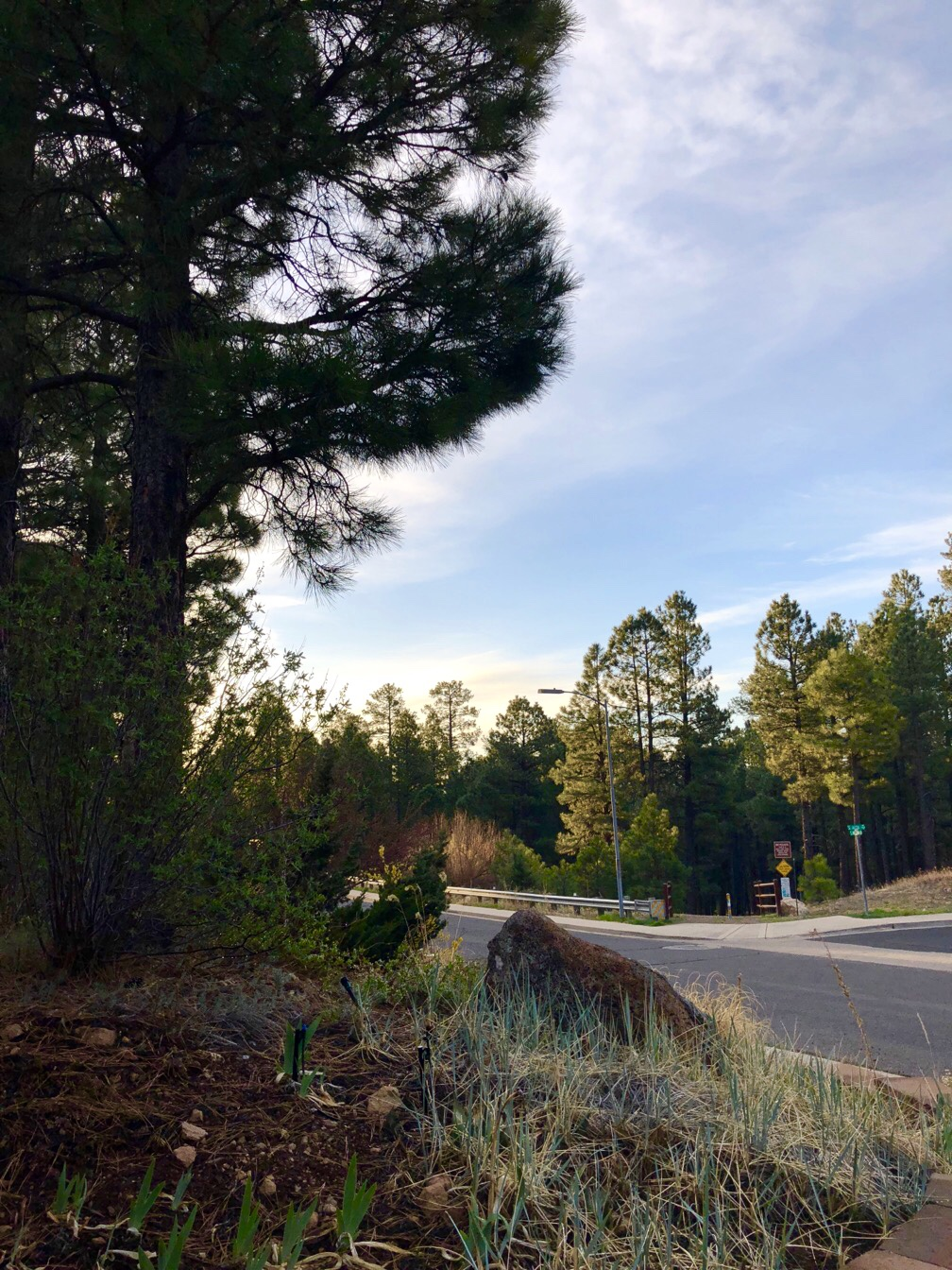 View of a street and trailhead in the morning, with lots of ponderosa pines.