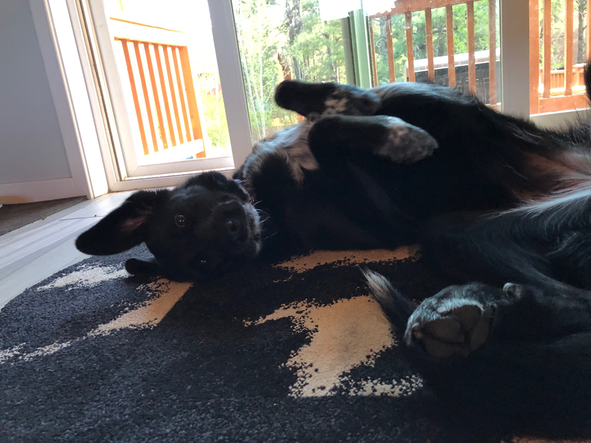 Black dog rolled in her back on a rug, with ears all floppy.