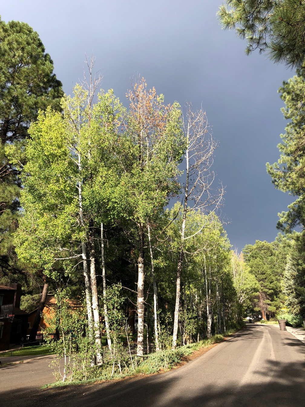 Photo of Aspen trees in the foreground and dark rain clouds in the background.