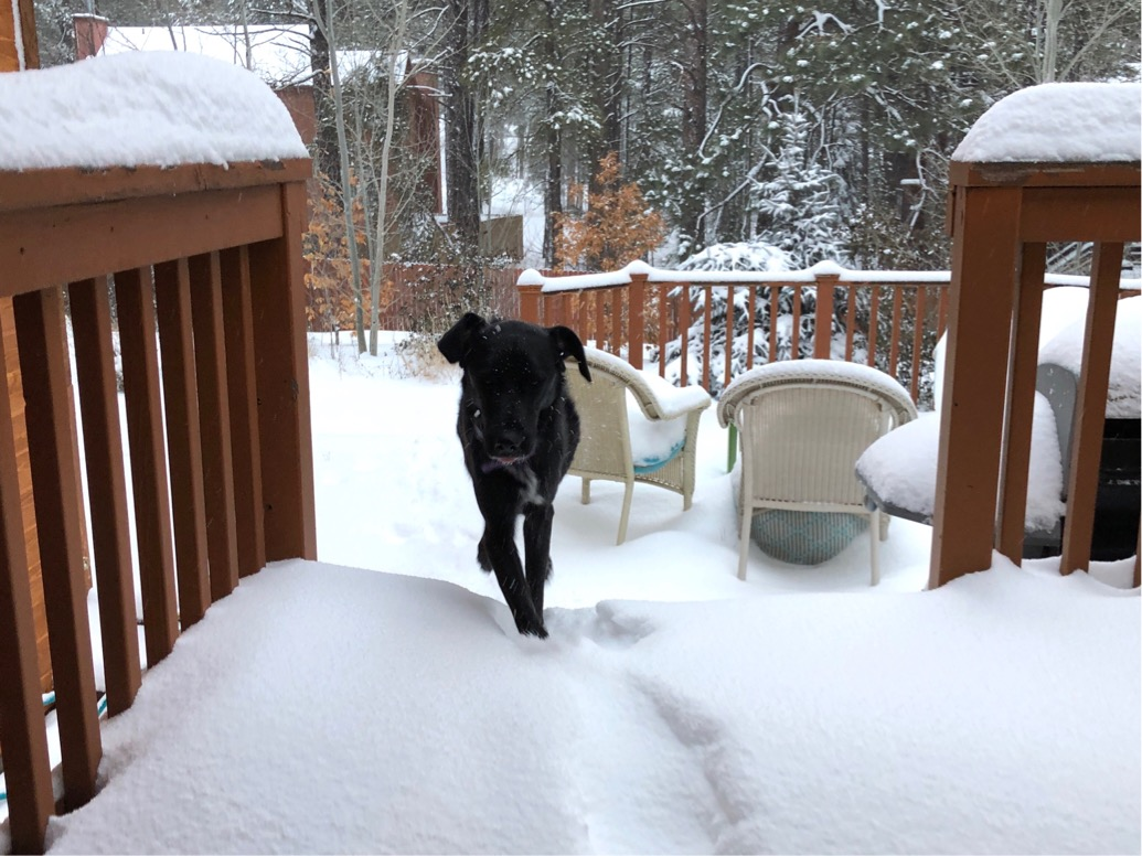 Photo of a black dog trotting inside from a snowy backyard.