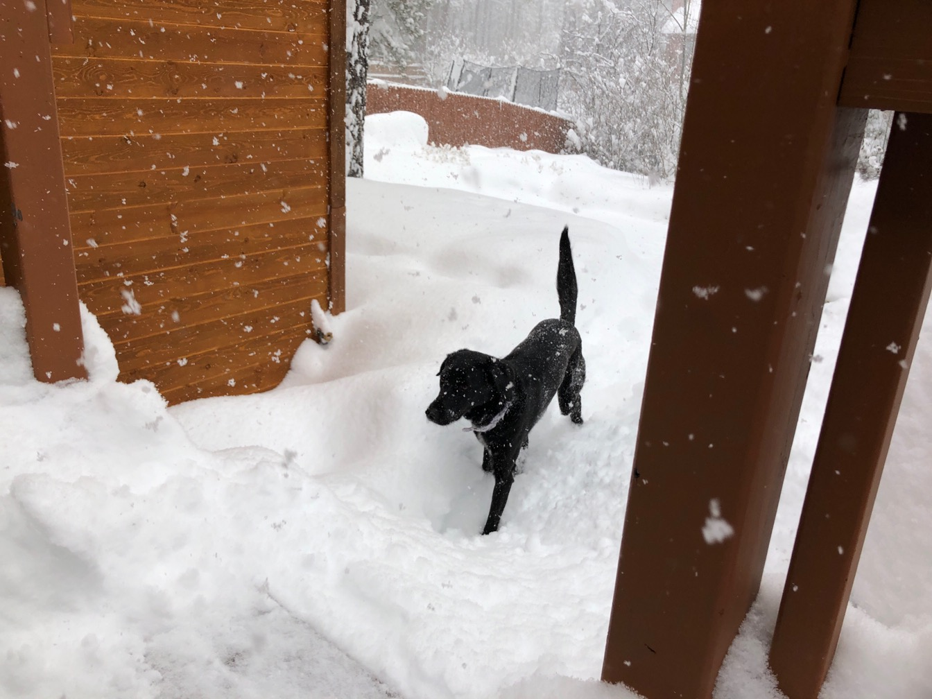 Black dog trotting through very deep snowdrifts