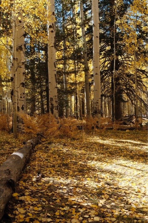 Photo of a carpet of golden aspen leaves