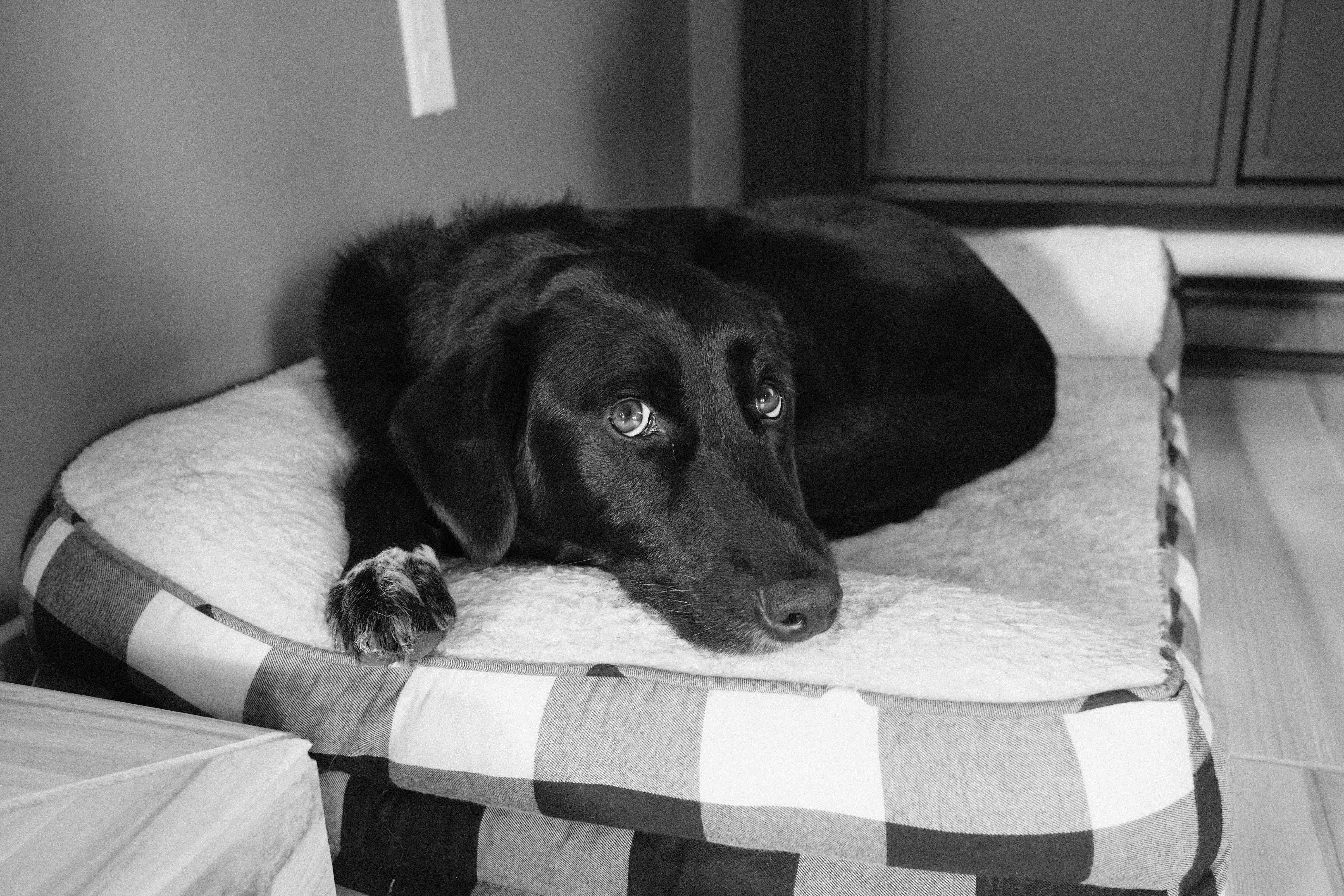 black and white photo of a black dog, laying down and looking up with big white eyes