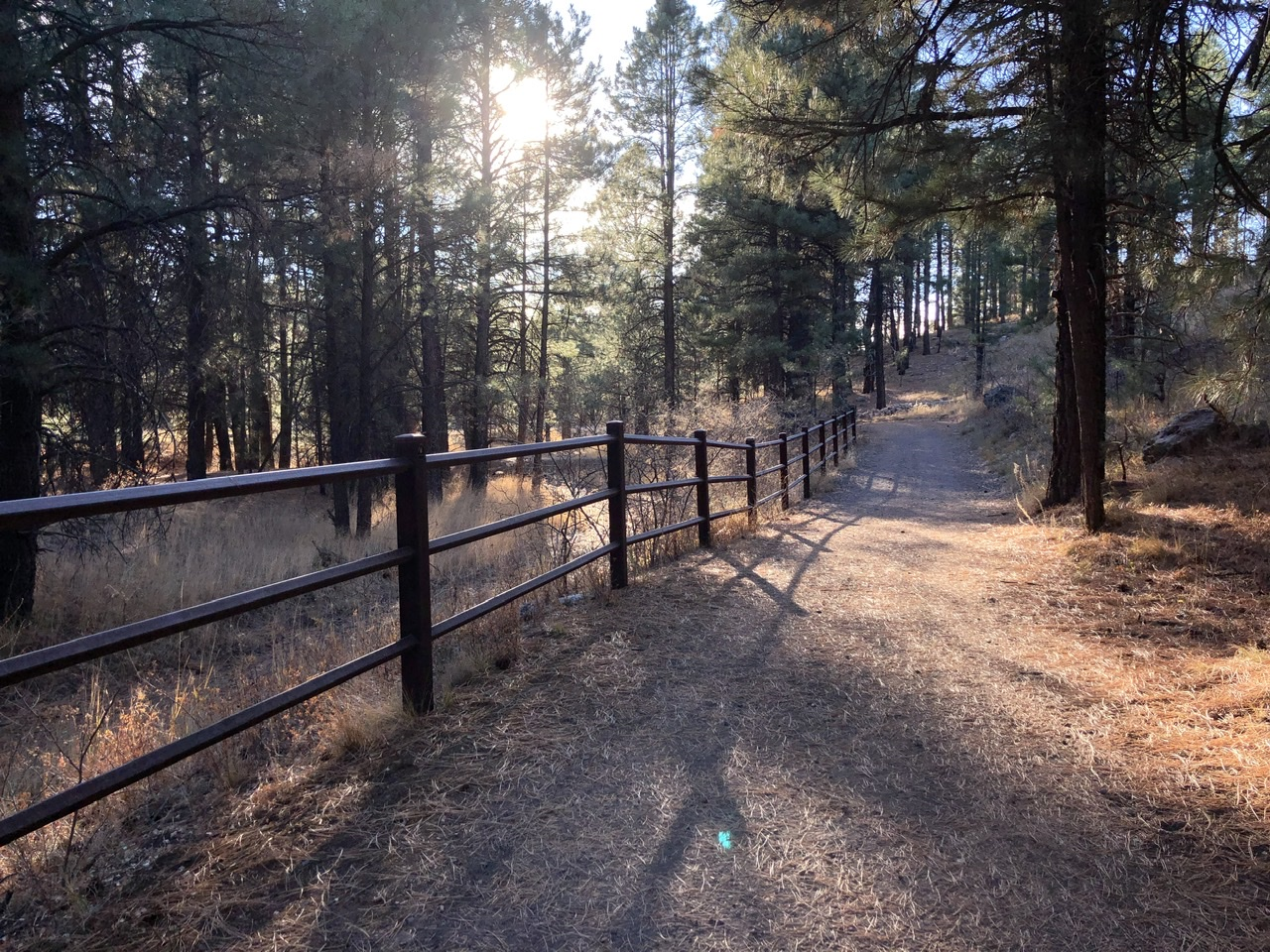 A forest path along a railing and bank of pine trees, with low sun shining in background