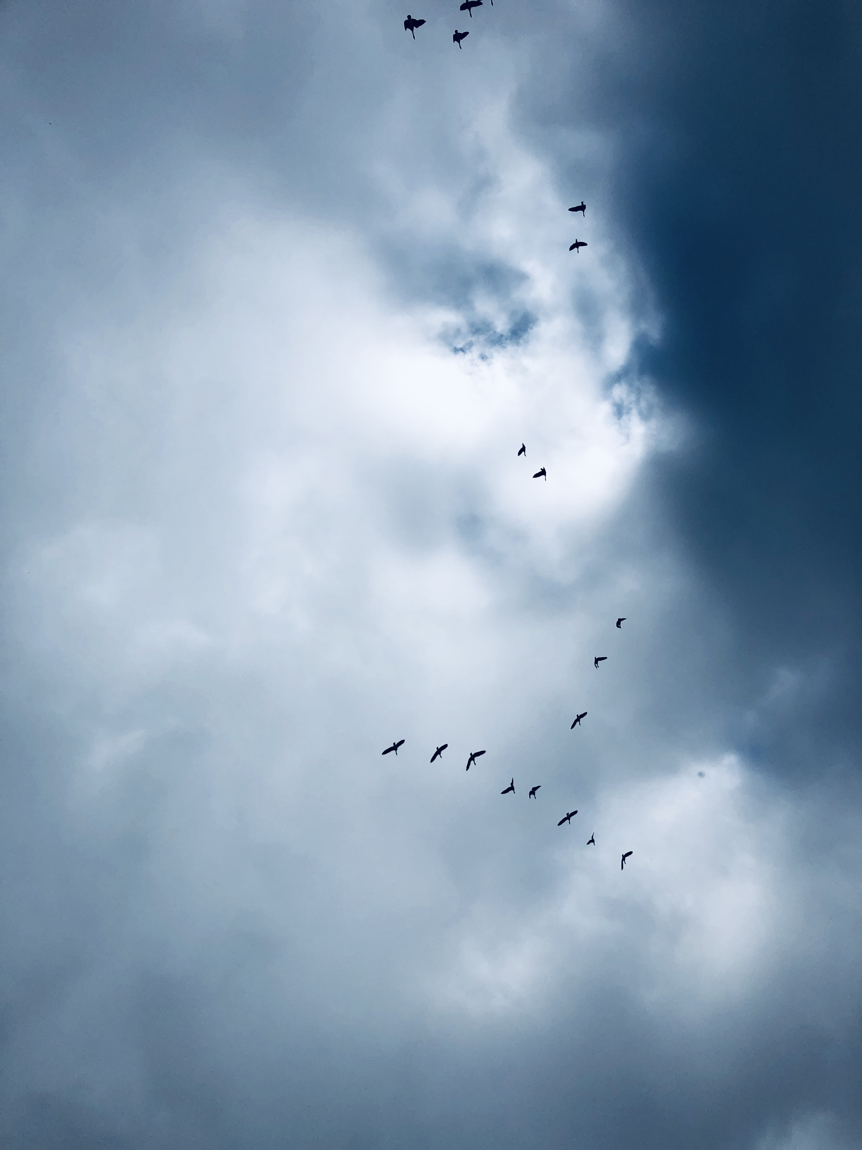 Looking straight up at geese flying in an uneven V shape, black against white clouds and blue sky
